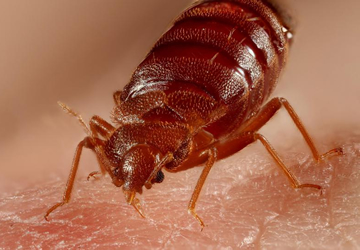 bed bugs treatment and control services in Nairobi Kenya