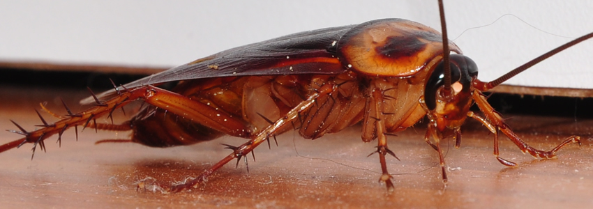 cockroaches pest control services in Nairobi Kenya
