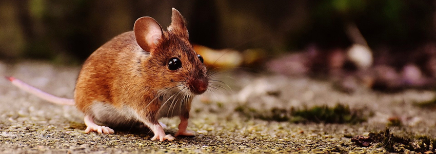 rats and mice pest control services in Nairobi Kenya